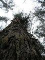 Starr-051123-5471-Eucalyptus globulus-trunk view skyward-Haleakala Ranch-Maui (24553629090).jpg