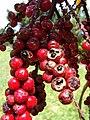 Starr-070321-5942-Cordyline fruticosa-fruit-Waianapanapa State Park Hana-Maui (24258543163).jpg
