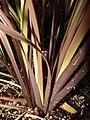 Starr-070906-8347-Phormium tenax-habit-Kula Ace Hardware and Nursery-Maui (24264242833).jpg