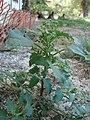 Starr-080531-4875-Chenopodium murale-fruiting habit-Halsey Dr around residences Sand Island-Midway Atoll (24910897425).jpg
