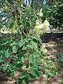 Starr-080531-4884-Moringa oleifera-flowers leaves and fruit-Halsey Dr around residences Sand Island-Midway Atoll (24543305849).jpg