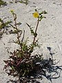 Starr-080604-5965-Sonchus oleraceus-flowering habit-South Beach Sand Island-Midway Atoll (24886765016).jpg