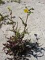 Starr-080604-5965-Sonchus oleraceus-flowering habit-South Beach Sand Island-Midway Atoll (24886765016).jpg