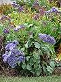 Starr-090421-6306-Limonium arborescens-flowering habit-Pukalani-Maui (24321847984).jpg