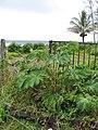 Starr-090618-1182-Tetrapanax papyrifer-habit-Keanae-Maui (24965853245).jpg