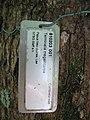 Starr-091104-0678-Terminalia megalocarpa-plant name tag-Kahanu Gardens NTBG Kaeleku Hana-Maui (24356851394).jpg