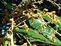 Starr-091104-0819-Aglaia saltatorum-flowers-Kahanu Gardens NTBG Kaeleku Hana-Maui (24987656305).jpg