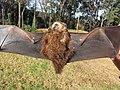 Starr-100907-9090-Eucalyptus sp-habitat with Hawaiian hoary bat Lasiurus cinereus semotus-Olinda-Maui (24958183611).jpg