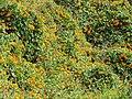 Starr-110201-0534-Thunbergia alata-blanketing habit-Keokea-Maui (25049047776).jpg