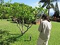 Starr-110330-3847-Citrus meyeri-Meyer habit with Kim-Garden of Eden Keanae-Maui (24987515851).jpg