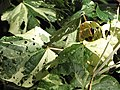 Starr-110330-3972-Hibiscus tiliaceus-variegated leaves-Garden of Eden Keanae-Maui (24987708661).jpg