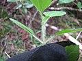 Starr-110924-9511-Ageratum conyzoides-furry stem-Makamakaole-Maui (25114954565).jpg