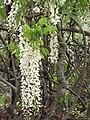 Starr-120305-3527-Wisteria floribunda-flowers-Crater Rd Kula-Maui (25044143501).jpg