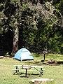 Starr-120329-3999-Cryptomeria japonica-habitat and tent-Hosmers Grove HNP-Maui (25019937412).jpg