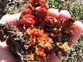 Starr-120403-4081-Aloe arborescens-flowers deformed by mites-Kula-Maui (24511554203).jpg