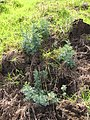 Starr-120403-4102-Ruta graveolens-flowering habit-Kula-Maui (24507759114).jpg
