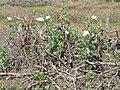 Starr-120513-5751-Argemone glauca-flowering habit-Waihee Coastal Preserve-Maui (25116189436).jpg