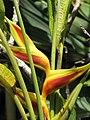 Starr-120522-6152-Heliconia bihai-cv Kamehameha flower-Iao Tropical Gardens of Maui-Maui (24512561944).jpg