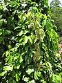 Starr-120522-6317-Strongylodon macrobotrys-leaves-Iao Tropical Gardens of Maui-Maui (24847828950).jpg