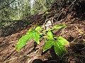 Starr-130320-3484-Syngonium podophyllum-habit persisting from yard dumpings perhaps-Mokolea Pt Kilauea Pt NWR-Kauai (44027698115).jpg