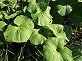 Starr-130911-0966-Sicyos maximowiczii-leaves-NE Lake-Laysan (25196928506).jpg