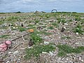 Starr-150403-1405-Brassica juncea-marine debris washed inland tsunami and Laysan Albatrosses-Southeast Eastern Island-Midway Atoll (24909940279).jpg