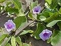 Starr 011104-0008 Ipomoea pes-caprae subsp. brasiliensis.jpg