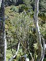 Starr 020518-0016 Pleomele auwahiensis.jpg