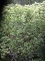 Starr 031023-0004 Nestegis sandwicensis.jpg