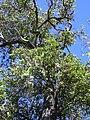 Starr 040522-0022 Santalum freycinetianum var. lanaiense.jpg