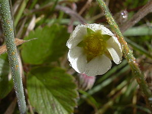 Fragaria chiloensis - Image: Starr 041006 0321 Fragaria chiloensis subsp. sandwicensis