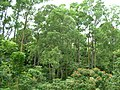 Starr 050107-2937 Eucalyptus deglupta.jpg