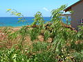 Starr 050516-1316 Prosopis glandulosa.jpg
