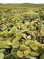 Starr 050519-1795 Solanum nelsonii.jpg