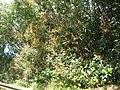 Starr 060422-9438 Syzygium jambos.jpg