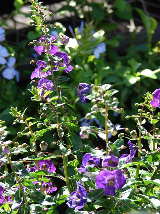 Starr 080103-1244 Angelonia angustifolia