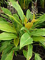 Starr 080117-1606 Philodendron sp..jpg