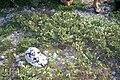 Starr 990412-0415 Solanum nelsonii.jpg