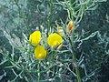 Stauracanthus boivinii 2.JPG