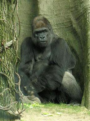 Gorille de l 39 ouest wikip dia - Dessin d un gorille ...