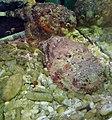 Stone fish at Andaman Aquarium.jpg