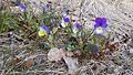 Storängsudds naturreservat Viola tricolor.jpg