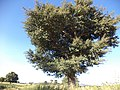 Strange tree jabal Mara.jpg