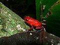 Strawberry Poison Frog (Oophaga pumilio) (6941543462).jpg