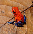 Strawberry dart frog.jpg