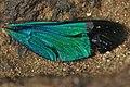 Stream Glory male wing details from Valparai Anamalai hills DSC 6584.JPG