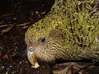 El kakapo es una de las aves más amenazadas del Mundo.