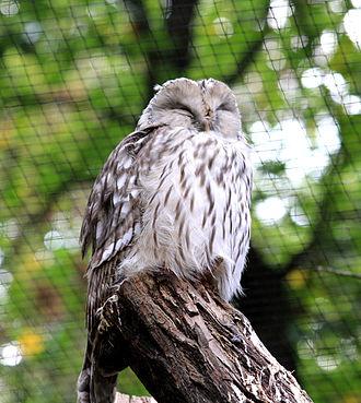 Ural owl - Image: Strix uralensis Zoo Praha 2011 1