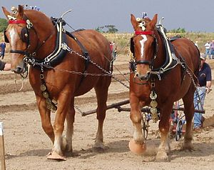 Suffolk Punch - Suffolk Punch horses