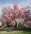 Summit NJ tree flowering 1.jpg